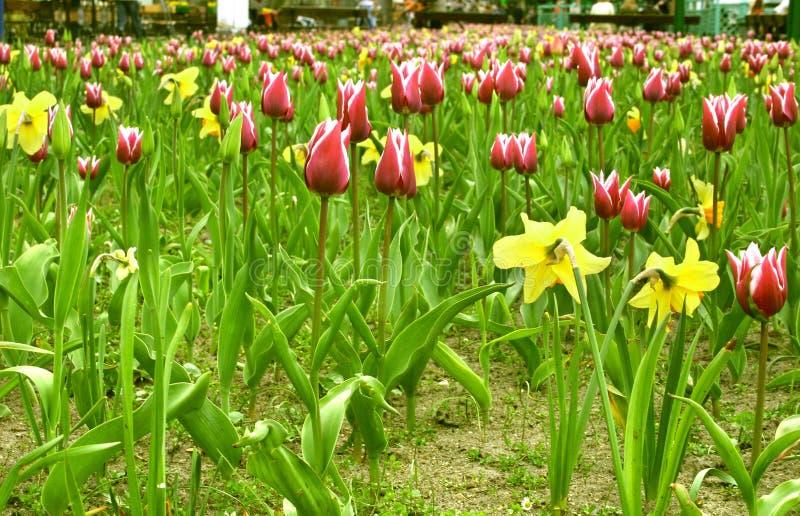 pole jonquil tulipan obrazy royalty free