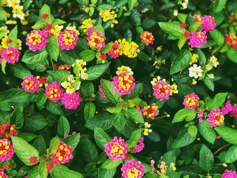 Pole kolorowy lantana kwitnie kwitnienie w spadku fotografia stock