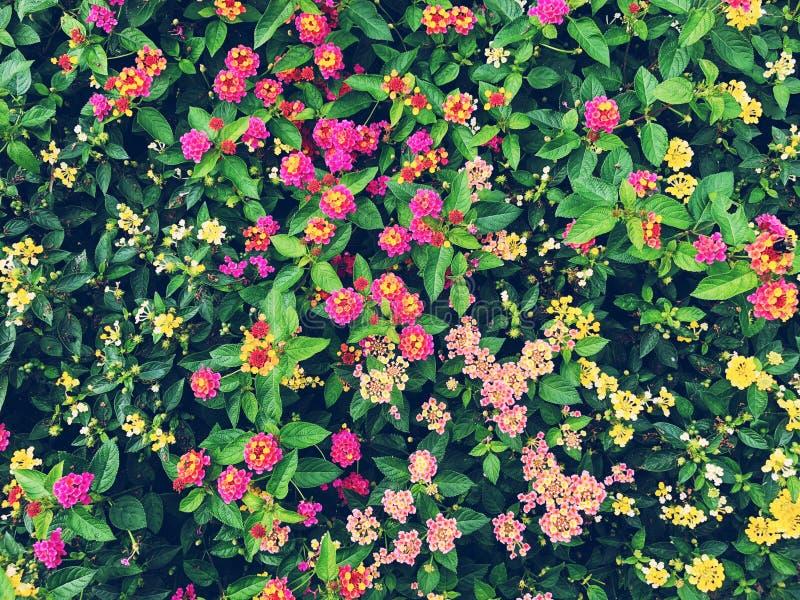 Pole kolorowy lantana kwitnie kwitnienie w spadku fotografia royalty free
