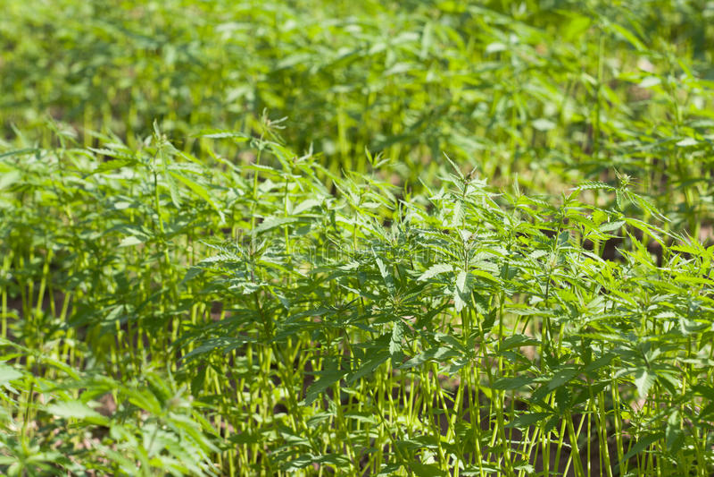 Pole konopiana marihuana Sativa obraz stock