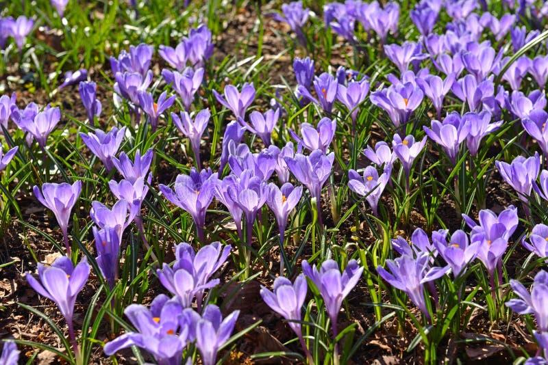 Pole krokusa vernus wiosny krokus, Gigantyczny krokus w Wczesnej wiośnie zdjęcia stock