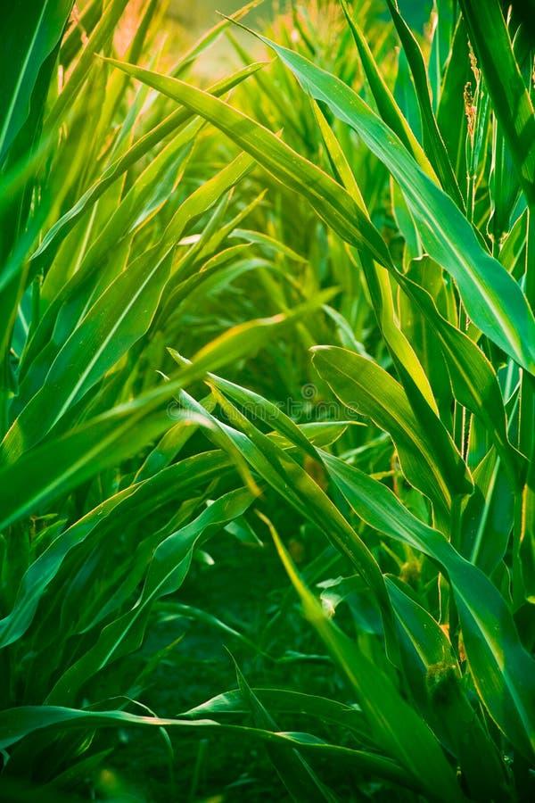 pole kukurydzy obraz stock