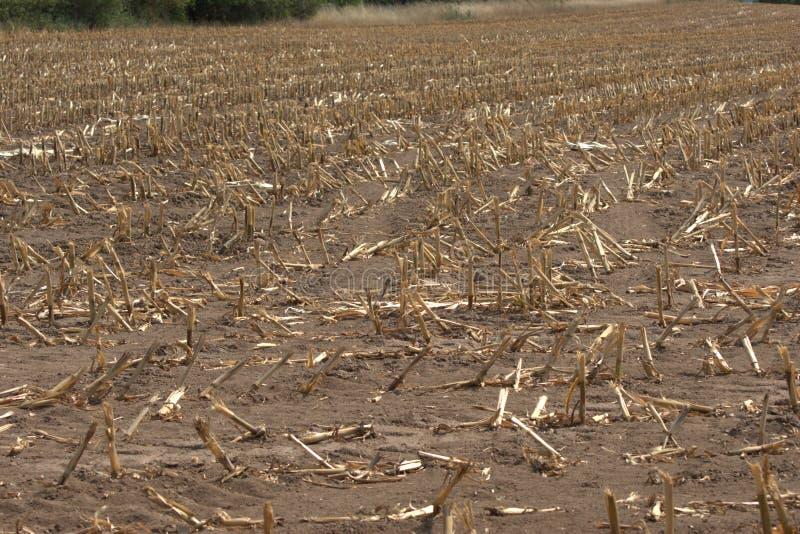 Pole kukurydzy, które zostało zebrane w gorącym lecie 2019 r. fotografia stock