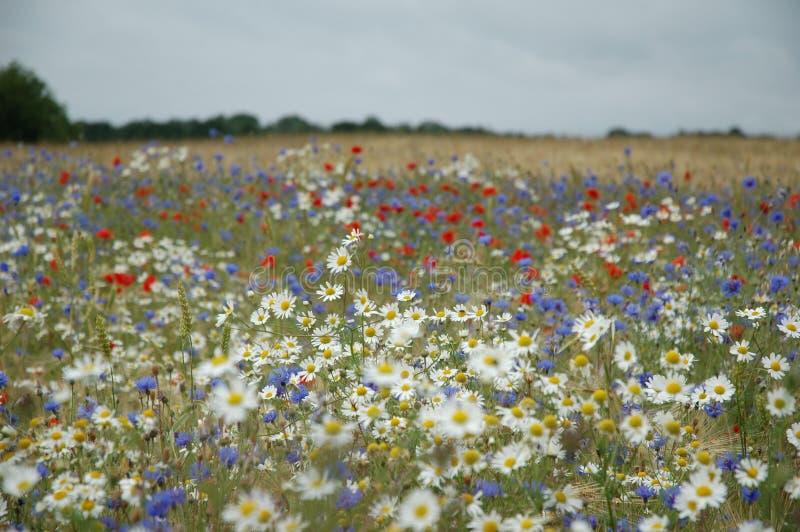 pole kwiatów zdjęcia royalty free