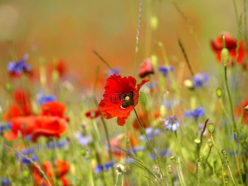 pole kwiatów poppy zdjęcie royalty free
