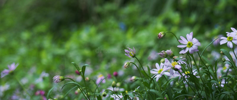 pole kwiatów purpurowy obraz royalty free