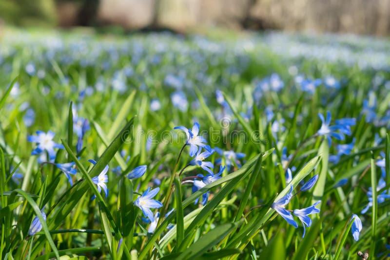 Pole kwiatów wiosennej Scilli w parku obrazy royalty free