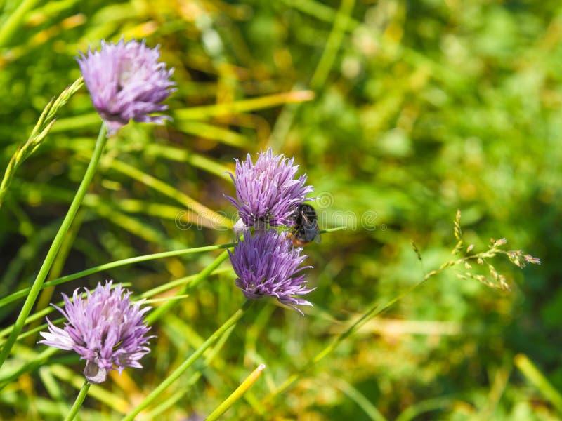 Pole kwiatonośni szczypiorki i bumblebee zgromadzenia nektar w górę obraz royalty free