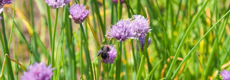 Pole kwiatonośni szczypiorki i bumblebee zgromadzenia nektar w górę fotografia royalty free