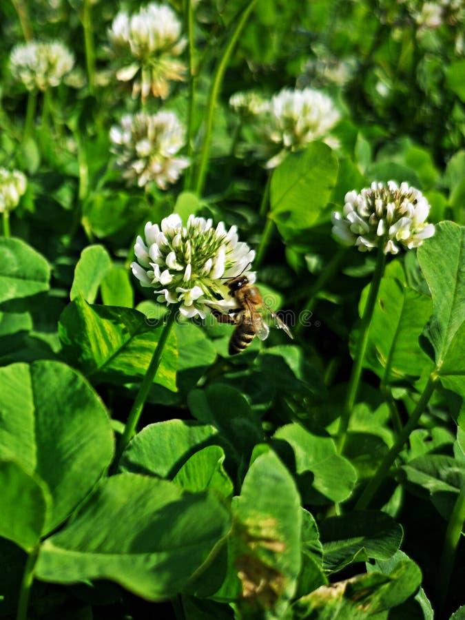Pole kwitnąć białej koniczyny - pszczoła zbieracki nektar zdjęcia royalty free
