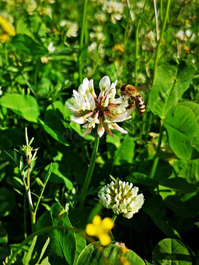 Pole kwitnąć białej koniczyny - pszczoła zbieracki nektar fotografia royalty free