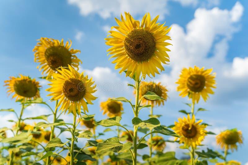 Pole kwitnących słoneczników,Lopburi Thailand zdjęcia stock