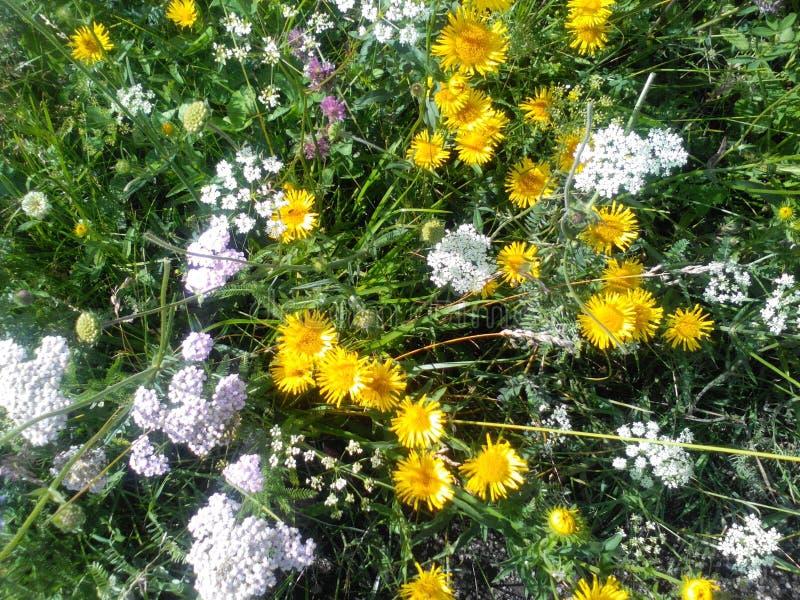 Pole kwitnie dzikich kwiaty obrazy stock