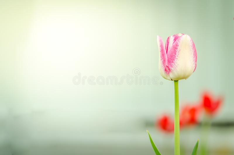 pole kwitnie fiołkowego tulipanu Piękna natury scena z kwitnącą fiołkową tulip/wiosną kwitnie piękna łąka tło mleczy spring pełne zdjęcie stock