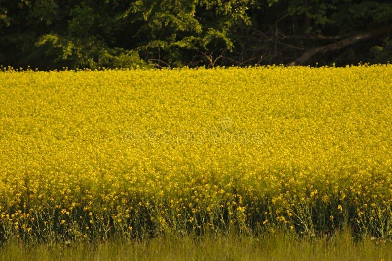 pole kwitnie rapeseed kolor ? fotografia royalty free