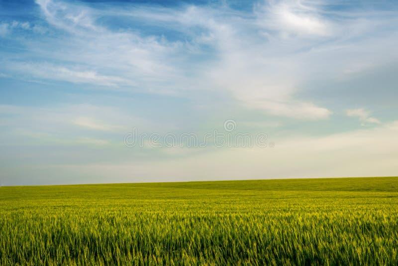 Pole młodzi pszeniczni ucho i niebo z chmurami zdjęcia royalty free