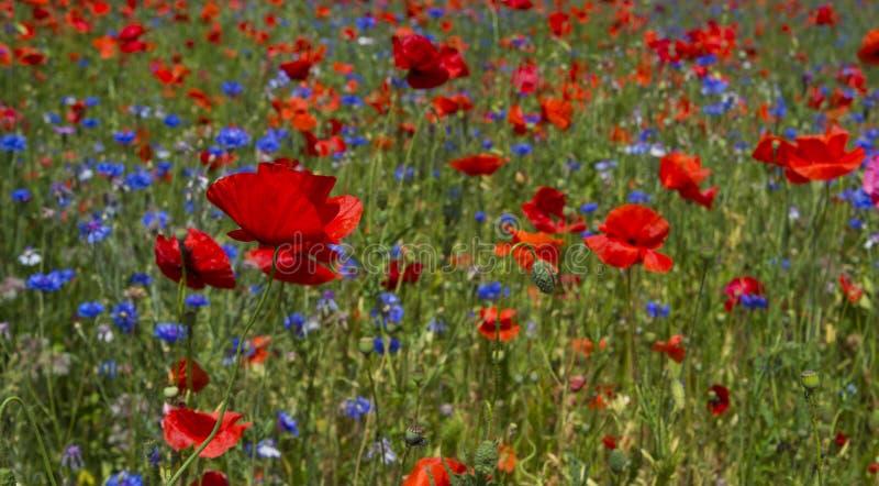 Pole maczki i dzicy kwiaty jaskrawi, czerwoni, obraz royalty free