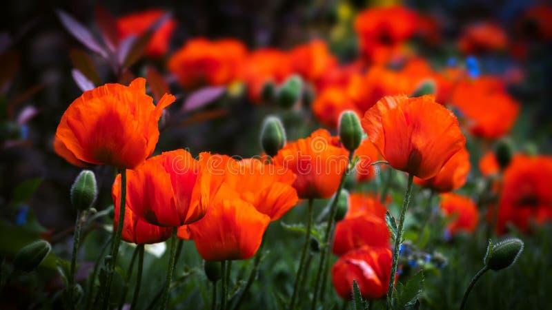 Pole maczki w kwiacie zdjęcia stock