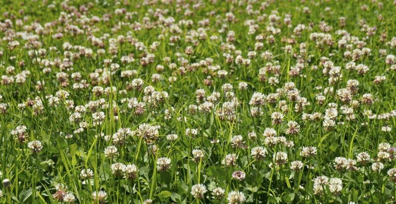 Pole mali dzicy kwiaty obrazy royalty free