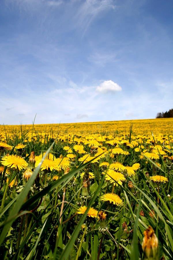 Download Pole mleczy obraz stock. Obraz złożonej z kwiat, furia - 132501