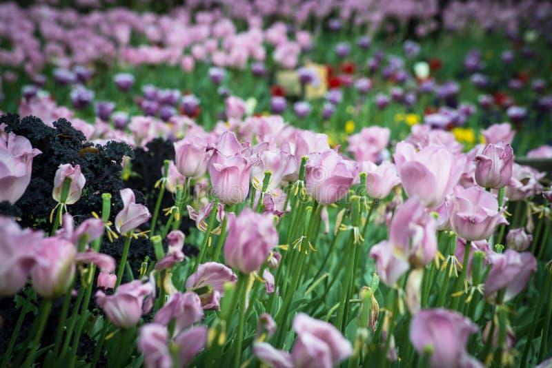 Pole nadfioletowi tulipany obraz stock