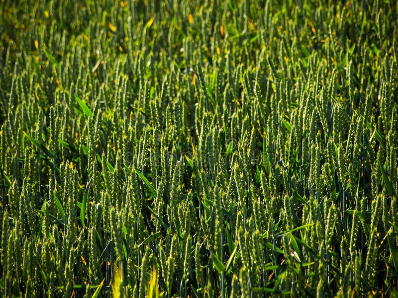 pole, natura, rośliny, lato, światło, żniwo, obrazy stock