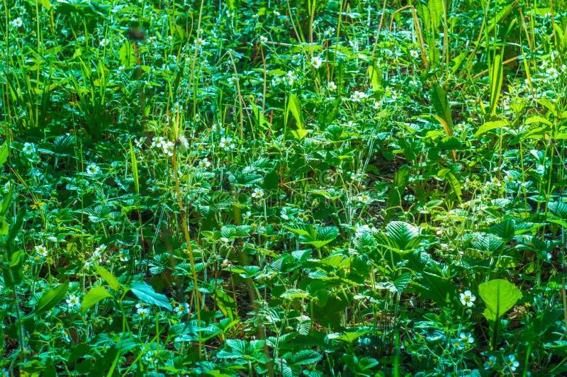 Pole okwitnięcie truskawki fotografia stock
