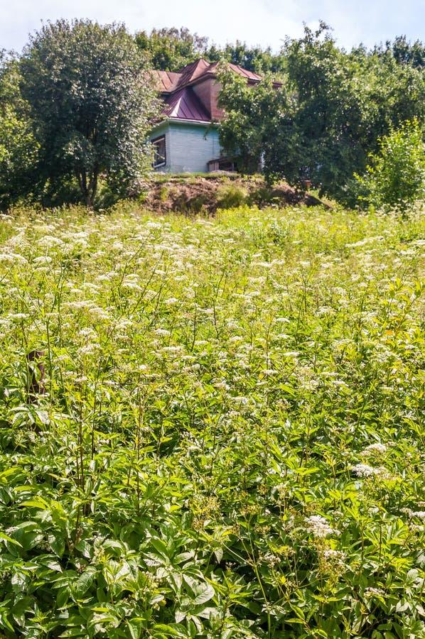 Pole pełno kwitnąca Pimpinella Saxifraga roślina z kraj wioski domem obraz stock