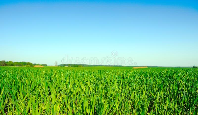 pole piękna zieleń obrazy royalty free