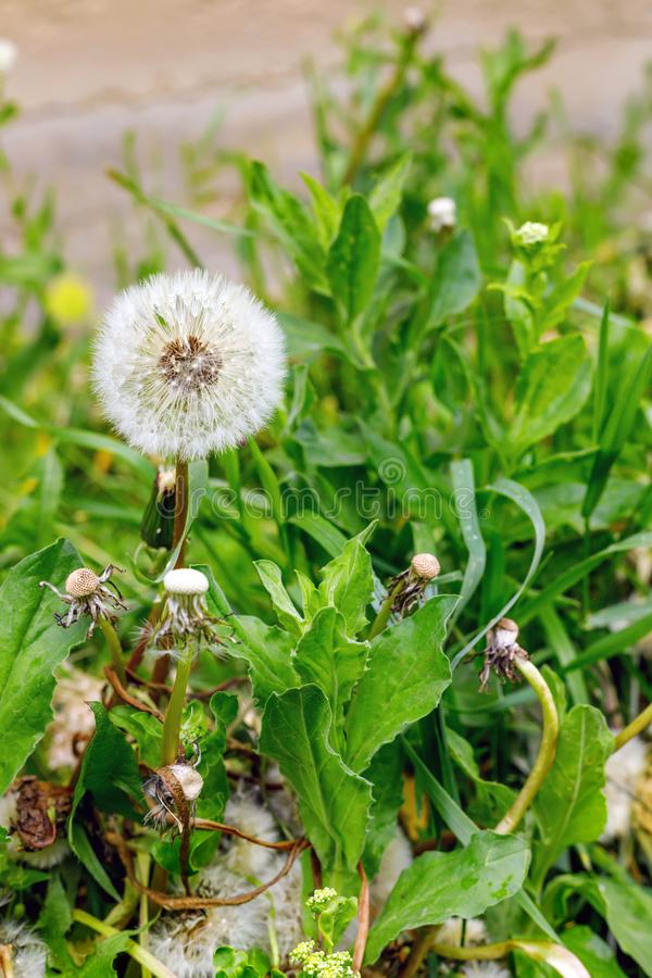 Pole piękni puszyści dandelions outdoors zdjęcie royalty free