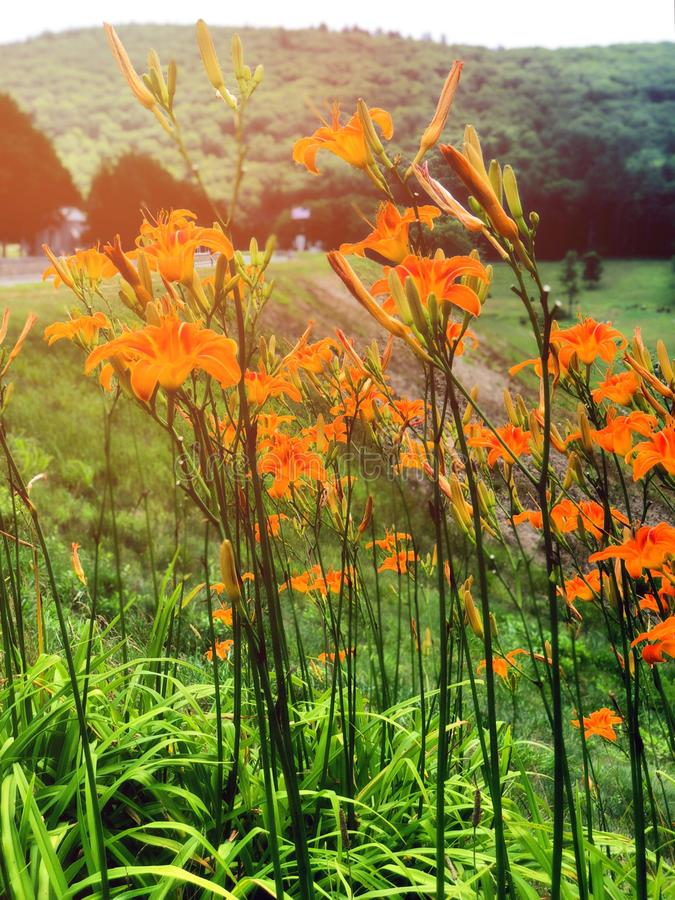 Pole piękny pomarańczowy Hemerocallis kwitnie kwitnienie obrazy royalty free