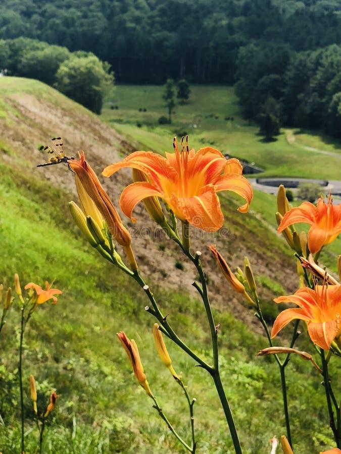 Pole piękny pomarańczowy Hemerocallis kwitnie kwitnienie fotografia royalty free