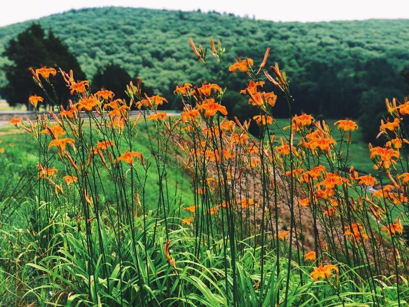 Pole piękny pomarańczowy Hemerocallis kwitnie kwitnienie zdjęcia stock