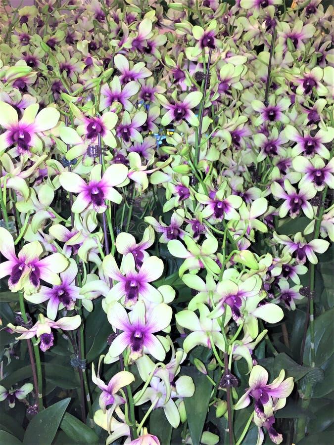 Pole purpurowe i białe orchidee Orchidaceae obrazy royalty free