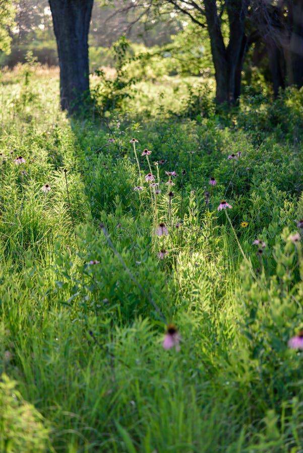 Pole purpurowi wildflowers w drewnach w późnego popołudnia słońcu zdjęcie royalty free