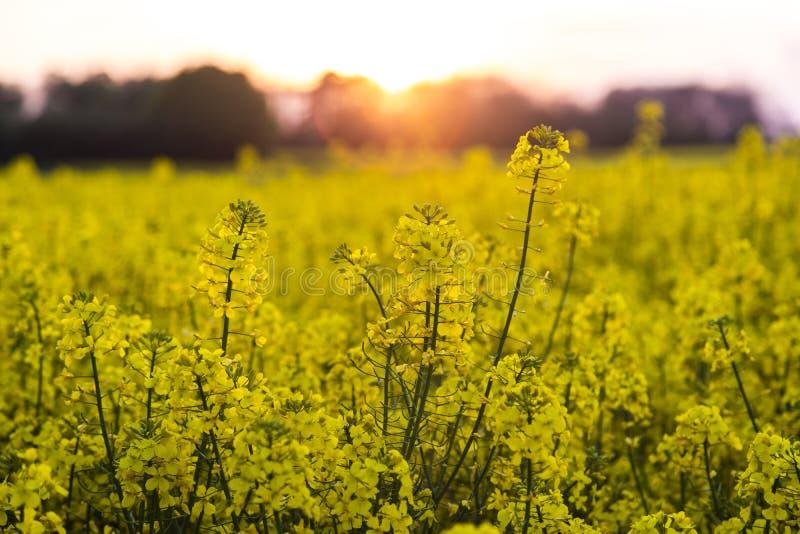 Pole Rapeseed Rapeseed Kwitnie przy zmierzchem lub wschodem słońca zdjęcia royalty free