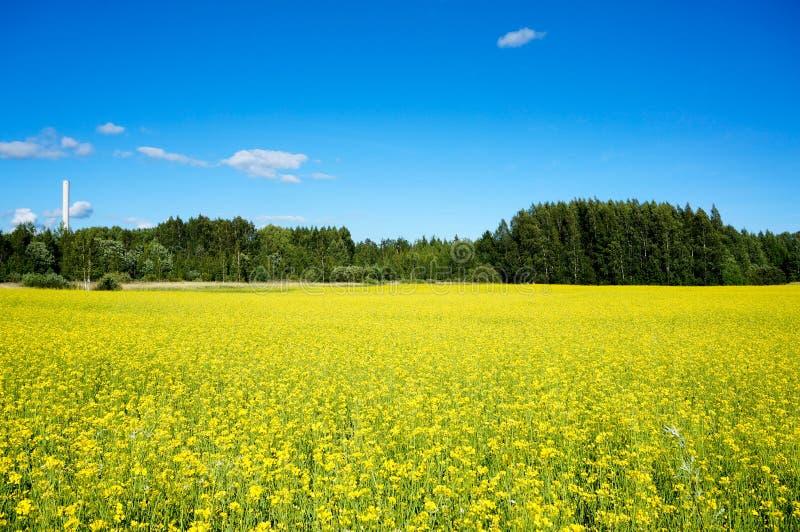 Pole rapeseed w lecie obraz stock