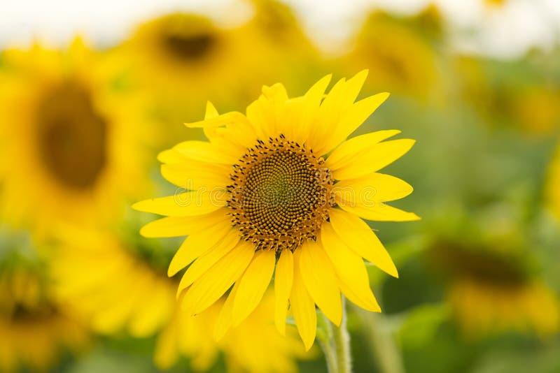 Pole słonecznika Olej słonecznikowy może być stosowany do silników Diesla, jeżeli jest mieszany z olejem napędowym w zbiorniku obraz stock