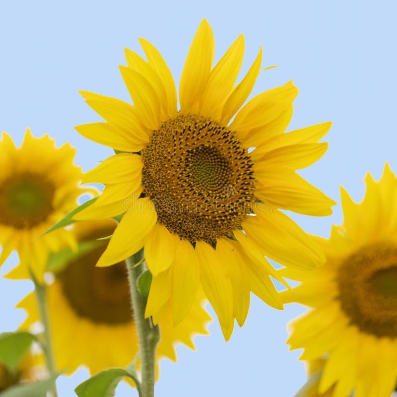 Pole słonecznika Olej słonecznikowy może być stosowany do silników Diesla, jeżeli jest mieszany z olejem napędowym w zbiorniku zdjęcie stock