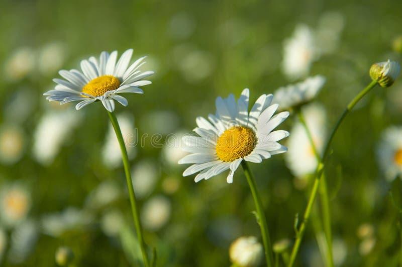 Pole stokrotka kwiaty Chamomile w polu Biali kwiaty i zielona łąka obraz royalty free