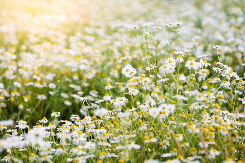Pole stokrotka kwitnie w lecie obraz stock