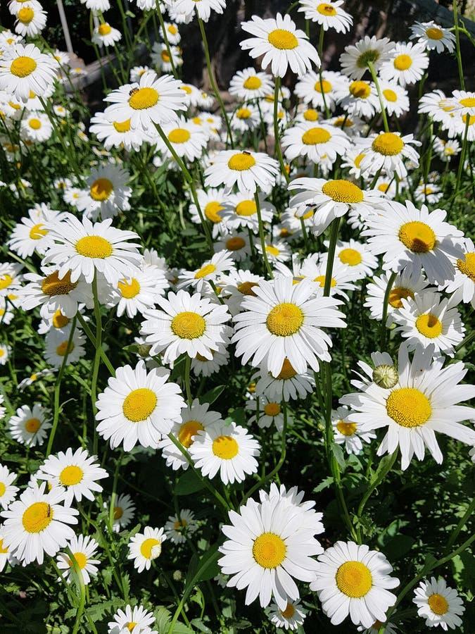 pole stokrotki, piękny biały chamomile w ogródzie zdjęcia royalty free