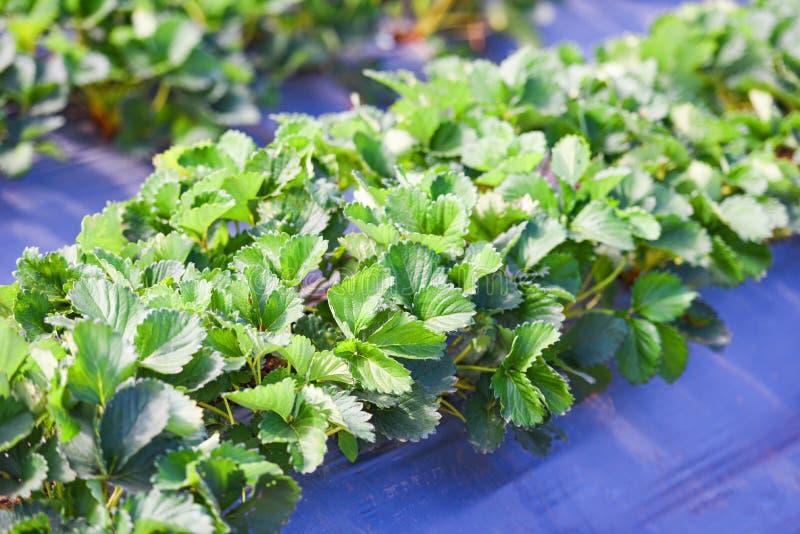 Pole truskawkowe z zielonym liściem w ogrodzie - truskawki z drzew roślinnych uprawiane w rolnictwie rolnym fotografia stock