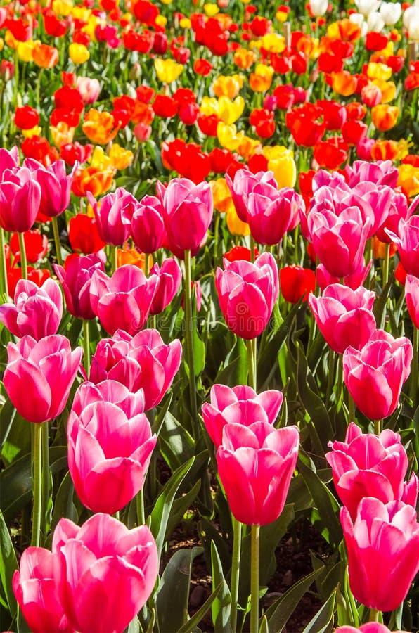 Pole Tulipana w Holandii fotografia royalty free