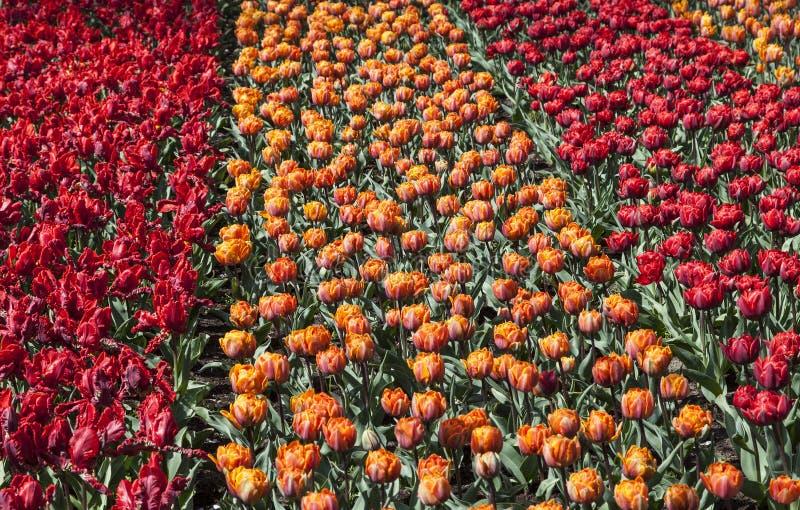 Download Pole tulipany zdjęcie stock. Obraz złożonej z fielder - 28454898