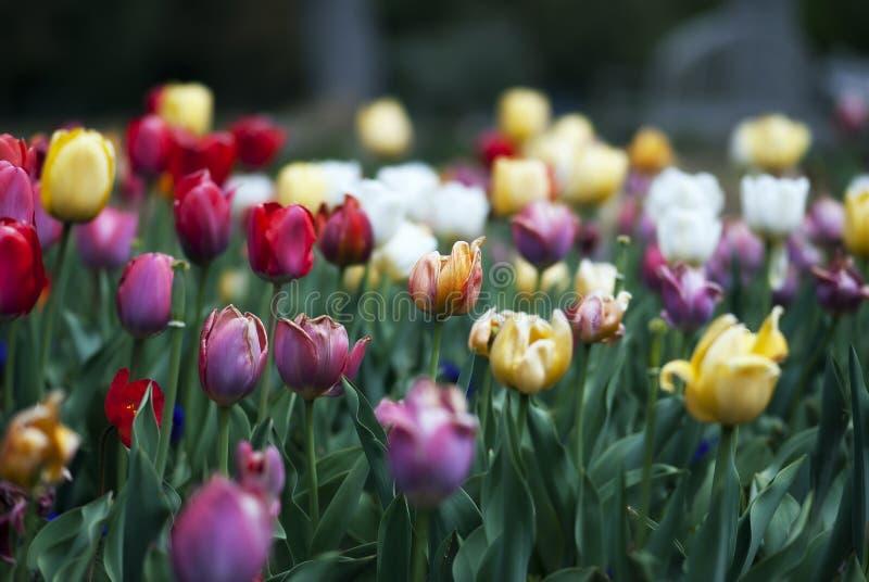 Pole tulipany zdjęcie stock