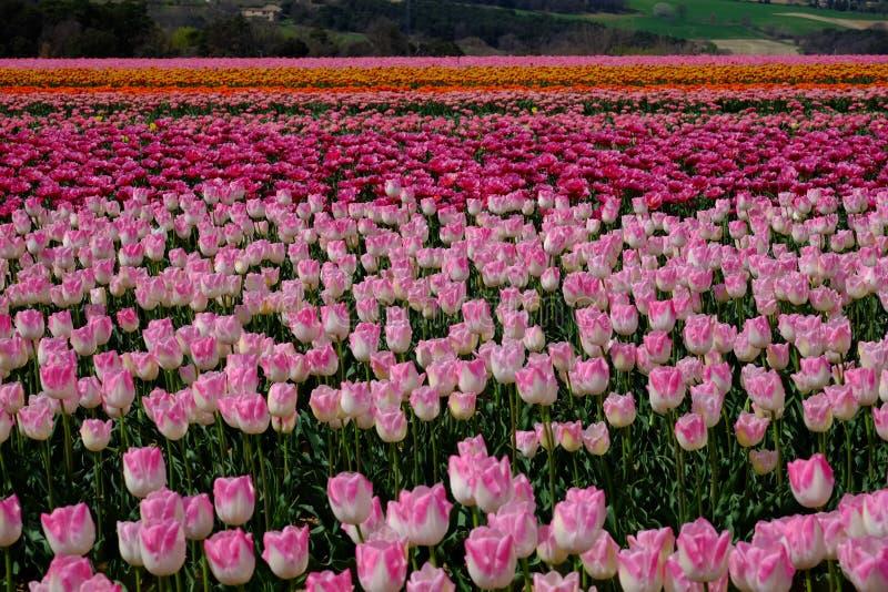 Pole tulipany zdjęcia stock