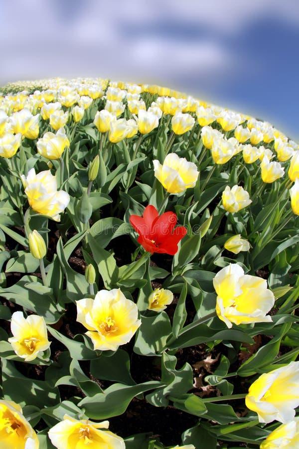 Pole tulipany iść na na zawsze  obrazy stock