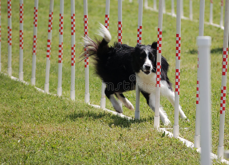 Download Pole weave stock image. Image of fast, animal, weave, agility - 6758651