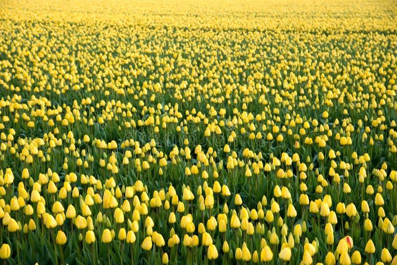 Pole z żółtymi tulipanami fotografia royalty free